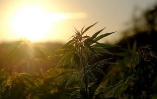 The Difference Between CBD Oil And Hemp Seed Oil